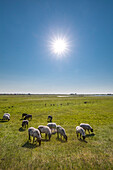 Sheep on a field, Hiddensee island, Mecklenburg-Western Pomerania, Germany