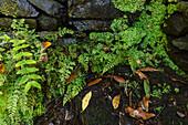 Farne, Fuente de la Zarza, Quelle, Parque Cultural La Zarza, Kulturpark La Zarza, Stätte von Kunst der Ureinwohner, prähistorisch, bei La Mata, UNESCO Biosphärenreservat, La Palma, Kanarische Inseln, Spanien, Europa