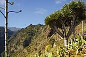 Dragon tree, lat. Dracaena draco, El Tablado, village, north coast, UNESCO Biosphere Reserve, La Palma, Canary Islands, Spain, Europe