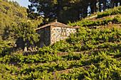 vineyards, historic wine press, Briesta, Garafia region, UNESCO Biosphere Reserve, La Palma, Canary Islands, Spain, Europe