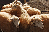 sheep, arrival of the cattle in the morning, livestock fair in San Antonio del Monte, Garafia region, UNESCO Biosphere Reserve, La Palma, Canary Islands, Spain, Europe