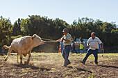 arrival of the cattle in the morning, livestock fair in San Antonio del Monte, Garafia region, UNESCO Biosphere Reserve, La Palma, Canary Islands, Spain, Europe