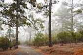 El Fayal pinewood near Puntagorda, Puntagorda, UNESCO Biosphere Reserve, La Palma, Canary Islands, Spain, Europe