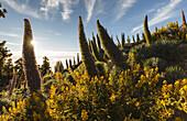 Tajinaste-plants, lat. Echium wildpretii, endemic plant, outside crater edge, Caldera de Taburiente, UNESCO Biosphere Reserve, La Palma, Canary Islands, Spain, Europe