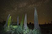 starry sky, stars, Tajinaste plants, lat. Echium wildpretii, endemic plant, outside crater edge, Caldera de Taburiente, UNESCO Biosphere Reserve, La Palma, Canary Islands, Spain, Europe