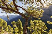 hiking tour to Pico Bejenado, mountain, 1844m, crater rim of  Caldera de Taburiente, Parque Nacional de la Caldera de Taburiente, National Park, UNESCO Biosphere Reserve, La Palma, Canary Islands, Spain, Europe