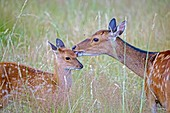 France, Haute Saone, Private park, Sika Deer (Cervus nippon), female and young.