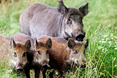 France, Haute Saone, Private park, Wild Boar (Sus scrofa), sow and youngs.