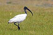 Sri Lanka, Wilpattu national patk, African sacred ibis (Threskiornis aethiopicus).