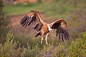 Europe, Spain, Province of Lleida, Eurasian Griffon Vulture (Gyps fulvus), landing.