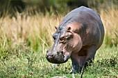 Hippopotamus grazing (Hippopotamus amphibius) Murchisson Falls National Park, Uganda.