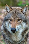 Wolf, Canis Lupus, Portrait, Germany, Europe.