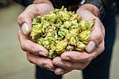 Hand of hops for brewing.