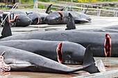 Whaling ( Grindadrap ) Long Finned Pilot Whale (globicephala melas) on the Faroe Islands, Hvannasund 2016. Whaling on the Faroe Islands is for subsistance and local consumption only. Meat is not exported or traded. Internationally hunting is not banned bu