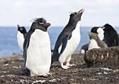 Rockhopper Penguin (Eudyptes chrysocome), subspecies western rockhopper penguin (Eudyptes chrysocome chrysocome). South America, Falkland Islands, January.