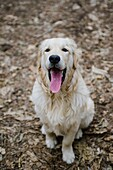 Portrait of dog golden retriever in the woods.