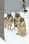 European Wolves in Winter, Canis lupus, Bavarian Forest National Park, Germany, Europe.