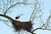 White Stork on nest, Ciconia ciconia, Hesse, Germany, Europe.