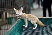Young fox, Hallim Park, Jeju island, South Korea.