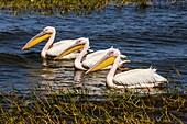 Great White Pelicans On Lake Awassa, Ethiopia.