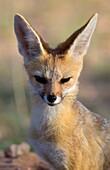 Cape Fox (Vulpes chama), Kgalagadi Transfrontier Park, Kalahari, South Africa.