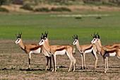 Springbok (Antodorcas marsupialis), alert, Kgalagadi Transfrontier Park in rainy season, Kalhari Desert, South Africa/Botswana.