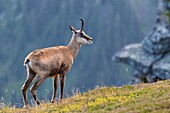 Chamois (Rupicapra rupicapra) standing on meadow, Niederhorn, Bernese Oberland, Switzerland.