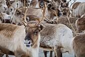 Reindeer herd, Reindeer herding, The Laponian Area, a World Heritage Location, Northern Sweden.