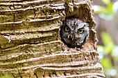 Eastern Screech Owl (Megascops asio) in Palm Tree cavity - Green Cay Wetlands, Boynton Beach, Florida, USA.