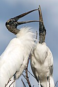 Wood Storks Courtship Behavior - Wakodahatchee Wetlands, Delray Beach, Florida, USA.