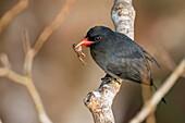 Black-fronted Nunbird (Monasa nigrifrons), Reserva natural Palmari, Brazil.