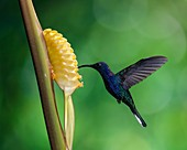 The Violet Sabrewing Hummingbird, Campylopterus hemileucurus, is a very large hummingbird native to southern Mexico and Central America as far south as Costa Rica and western Panama. It is an important pollinator of heliconias and bananas. Photographed in