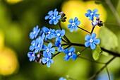Flowering Siberian bugloss Brunnera macrophylla.