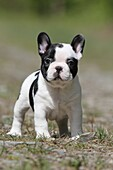 Dog French Bulldog puppy standing on the ground
