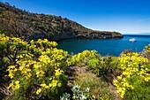 Wildflowers at Pelican Bay, Santa Cruz Island, Channel Islands National Park, California USA.