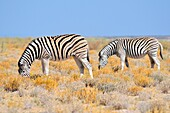 Burchell's zebras (Equus quagga burchellii), grazing, in the arid steppe, Etosha National Park, Namibia, Africa.