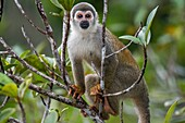 A Squirrel monkey in a tree in the rain forest near La Selva Lodge near Coca, Ecuador.