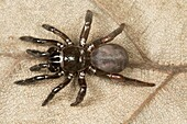 Trapdoor spider, Idiops sp., Barnawapara WLS, Chhattisgarh. Idiops is a spider genus in the family Idiopidae. The species are found in South America, Africa, South Asia and the Middle East.