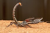 Burrowing scorpion, Heterometrus sp. , Udanti Tiger Reserve, Chhattisgarh. Large scorpion with massive pincers. Male has markedly larger pincers than the female. Common.