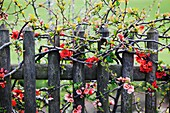 Japanese Quince growing over old wooden fence
