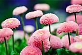 English Daisy (Bellis perennis) Variety Bellissima Rose