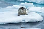 Bearded Seal (Erignathus barbatus) laying on pack ice, Spitsbergen Island, Svalbard Archipelago, Norway,.