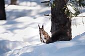 Wild squirrel in the woodland of Val Roseg, Pontresina, Canton of Graubunden, Switzerland, Europe
