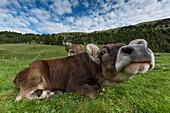 Italy, Europe,Dolomites, Alps,Trentino, Fassa Valley, alpine pasture,cows,grazing cows