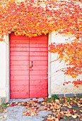 Red door with red leaves of american grapes on a house. Poggiridenti, Valtellina, Lombardy, Italy.
