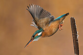 Kingfisher in flight ready to hunt, Trentino Alto-Adige, Italy