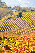 The vineyards of the Langhe in Autumn. Italy, Piedmont, Cuneo district, Langhe