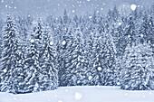 Forest of firs trees under a snowfall, Auronzo di Cadore, Dolomites, Belluno, Veneto, Italy