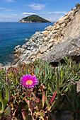 Wildflower on cliffs, Gulf of Procchio, Marciana, Elba Island, Livorno Province, Tuscany, Italy