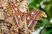 Atlas moth, Attacus atlas, Botanical Garden, Munich, Upper Bavaria, Bavaria, Germany